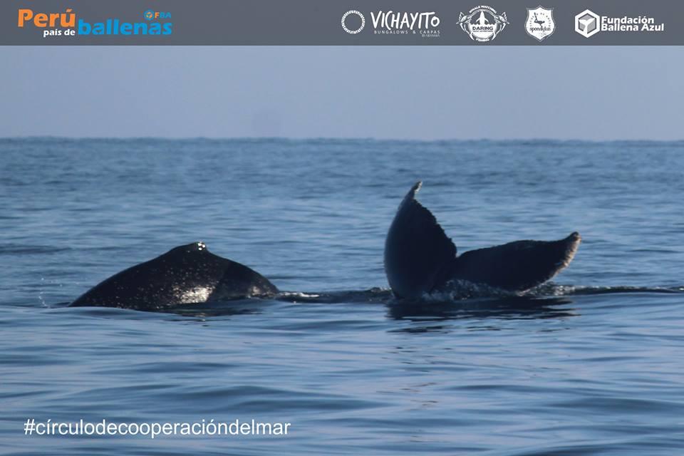 ballenas_ballena azul
