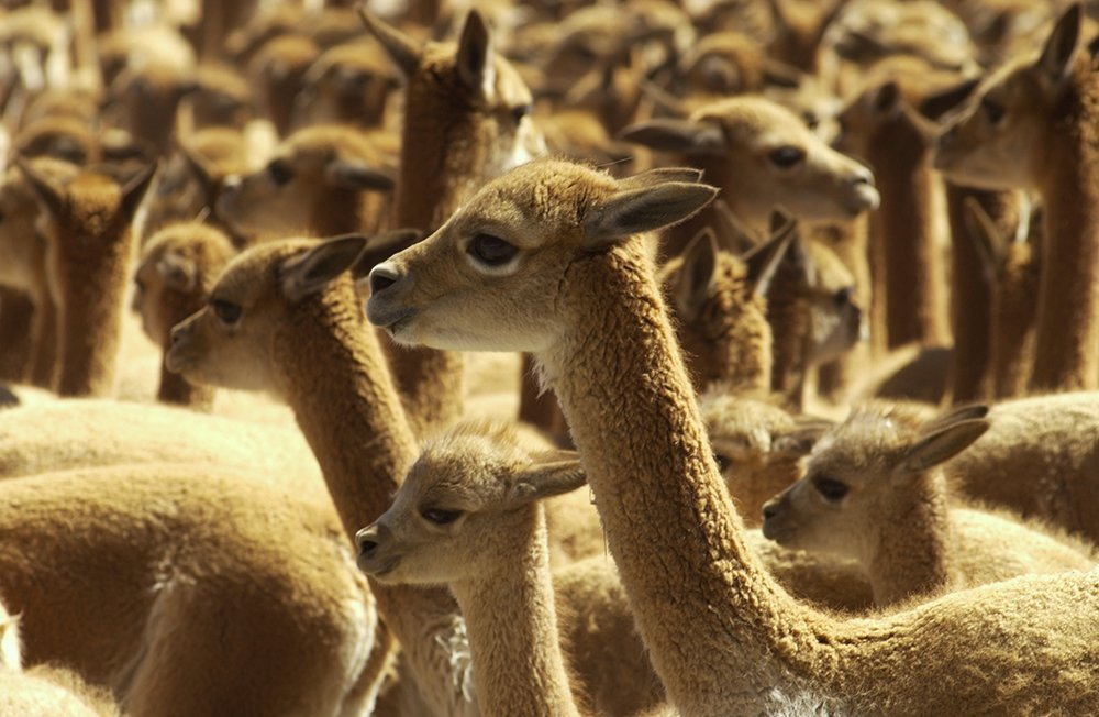 vicuñas_spda_thomas_Muller