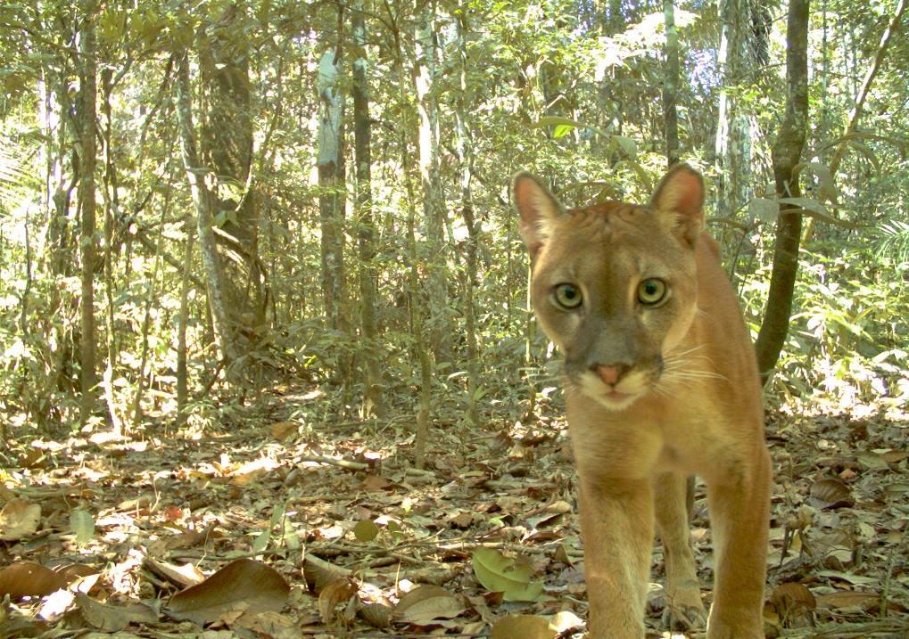 Parque Nacional del Manu: con cámaras trampa grabaron a especies en su ambiente natural
