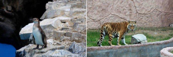 tigre_parque_leyendas_municipalidad_lima_004