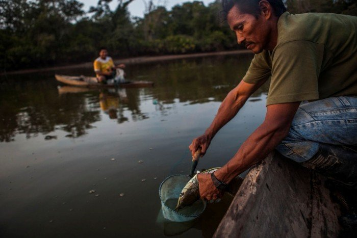 Dagoberto extrae los alevinos de la boca de una arahuana macho adulta; luego, los coloca en pequeñas redes o pusahuas.