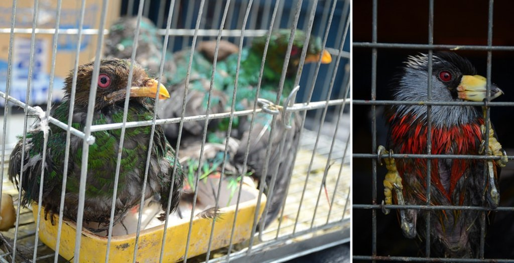 trafico_aves_serfor_actualidad_ambiental_1