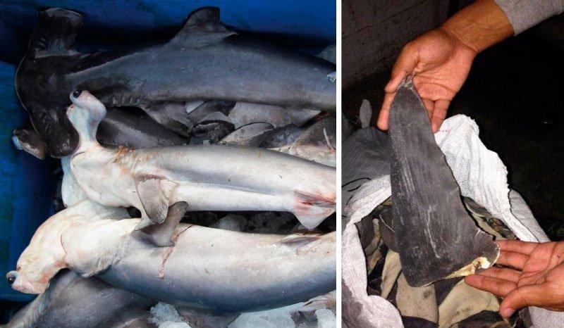 Resultado de imagen para toneladas de aleta de tiburon