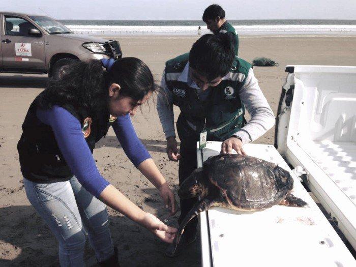 Rescate de tortuga cabezona