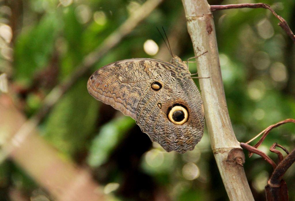 RNAM mariposa buho_SPDA