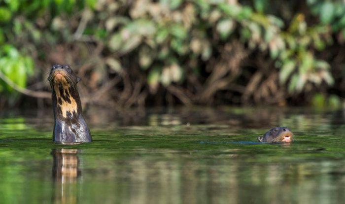 lobo-de-rio-sernanp
