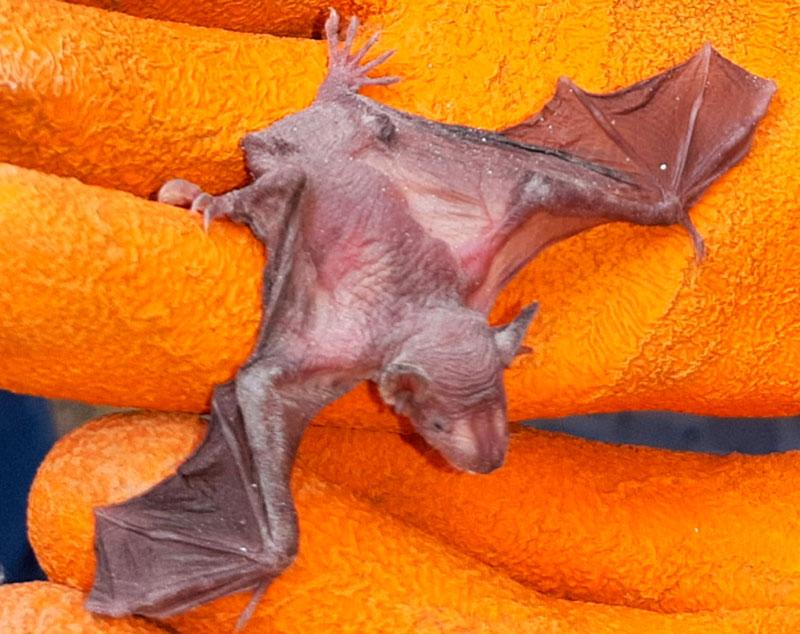 Murciélagos rescatados y liberados (Foto: Serfor)