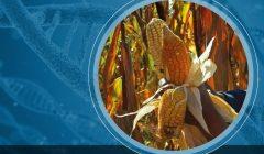 transgénicos maíz_SPDA